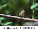 snowy browed flycatcher ... | Shutterstock . vector #1123604456