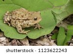 A Large Hunting Common Toad ...