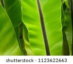 bird s nest fern. close up at... | Shutterstock . vector #1123622663
