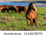 Wild Horses Graze In The Sunli...