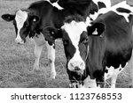 Friesian Cow Black   White