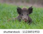 wild boar grass | Shutterstock . vector #1123851953