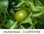tangerine fruit is sour in... | Shutterstock . vector #1123937456