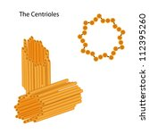 Structure of the centrioles - stock photo