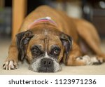 Boxer Dog Breed Laying Down
