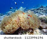 Orange Nemo Clownfish In The...