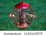 American Red House Finch Birds...