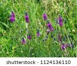 Purple Prairie Clover  Various...
