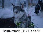 husky sledge  sweden | Shutterstock . vector #1124156570