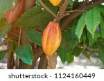 cocoa fruit farm. close up of... | Shutterstock . vector #1124160449