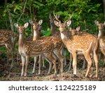 sika or spotted deers herd in...   Shutterstock . vector #1124225189