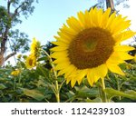 close up of the sunflower in... | Shutterstock . vector #1124239103