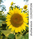 close up of the sunflower in... | Shutterstock . vector #1124239106