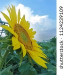 close up of the sunflower in... | Shutterstock . vector #1124239109
