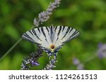 Scarce Swallowtail Butterfly...