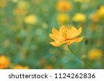 field of blooming yellow cosmos ... | Shutterstock . vector #1124262836