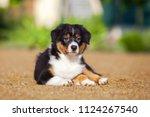 australian shepherd puppy | Shutterstock . vector #1124267540