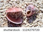 sea shells on the beach   Shutterstock . vector #1124270720
