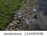 seagulls on the bank of a pond...   Shutterstock . vector #1124293940