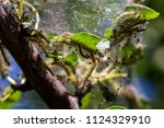 caterpillars made cocoons on... | Shutterstock . vector #1124329910