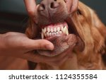 sharp teeth of a dog. the jaw... | Shutterstock . vector #1124355584