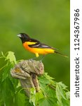 Baltimore oriole in minnesota...