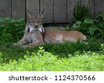 the canada lynx or canadian... | Shutterstock . vector #1124370566