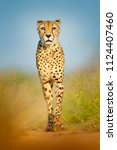 cheetah  acinonyx jubatus ... | Shutterstock . vector #1124407460