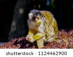 Squirrel Monkey On The Tree.