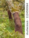 cork oak forest   quercus suber ... | Shutterstock . vector #1124500064