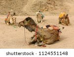 bedouin camels laying on sand... | Shutterstock . vector #1124551148