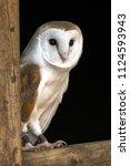 Male Barn Owl Against A Black...