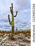 saguaro cactus cereus giganteus ... | Shutterstock . vector #1124601266