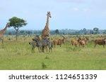 zebras and giraffes walking in... | Shutterstock . vector #1124651339