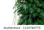 Small photo of Green leaves of native Monstera (Epipremnum pinnatum) liana plant growing in wild climbing on jungle tree, tropical forest plant evergreen vines bush isolated on white background with clipping path.