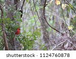 red male northern cardinal... | Shutterstock . vector #1124760878