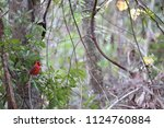 red male northern cardinal... | Shutterstock . vector #1124760884