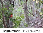 red male northern cardinal... | Shutterstock . vector #1124760890