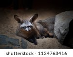 cape foxes  vulpes chama  at... | Shutterstock . vector #1124763416
