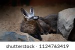 cape foxes  vulpes chama  at... | Shutterstock . vector #1124763419