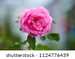 pink roses in the morning light ... | Shutterstock . vector #1124776439