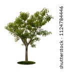 tree dicut at isolated on white ... | Shutterstock . vector #1124784446