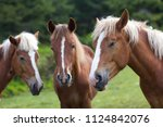 Stock photo funny horse conference in sunny meadow close shot of three chestnut horses with white stripes and 1124842076
