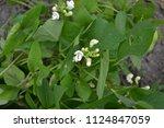 beans. phaseolus. | Shutterstock . vector #1124847059