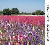 Small photo of Field of colourful delphinium flowers planted in rows of colour, in a flower field in Wick, Pershore, Worcestershire, UK. The petals are used to make natural wedding confetti. Photographed in summer.