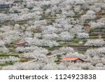 cherry blossom in jerte valley  ... | Shutterstock . vector #1124923838