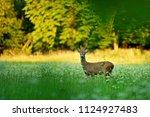 male roe deer standing on green ... | Shutterstock . vector #1124927483