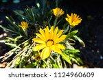 growing gerbera flowers... | Shutterstock . vector #1124960609