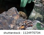 toad is on a rock. | Shutterstock . vector #1124970734