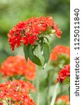 Small photo of Lychnis chalcedonica a red herbaceous springtime summer flower plant commonly known as Jerusalem cross or Maltese cross